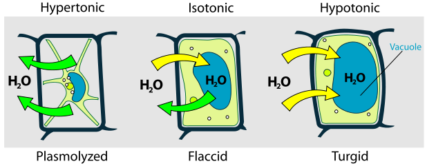 Figure 2. Osmosis (turgor pressure) in plant cell