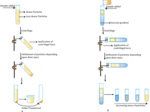 Figure 3. Diagrammatic representation of differential centrifugation (A) and rate zonal(B) centrifugation.