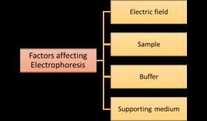 Figure 4. Flowchart representing factors affecting migration rate in electrophoresis