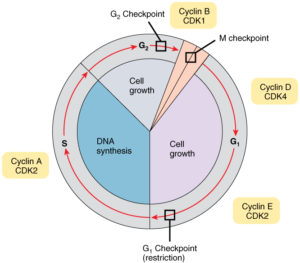 Cell cycle and its checkpoints