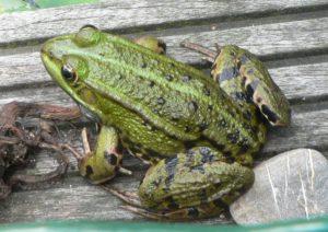 Frog, an amphibian