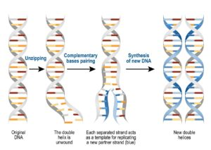 Figure 4. Process of DNA replication