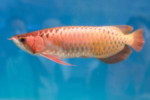 Arowana in an aquarium