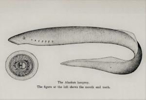 An Alaskan lamprey (Agnatha)