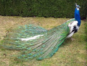Peacock (Vertebrate), a large colorful pheasant known for its beautiful feathers