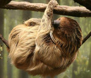 Two-toed Sloth (Vertebrate), an arboreal mammal