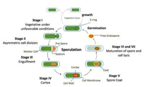 Figure 14. Process of sporulation in Bacillus subtilis