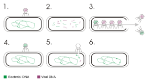 A process of bacterial transduction