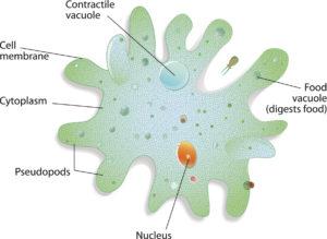 protozoa amoebe