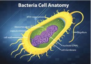 Figure 11. Bacterial cell structure