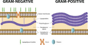 Figure 12. Difference between Gram-positive and Gram-negative bacteria