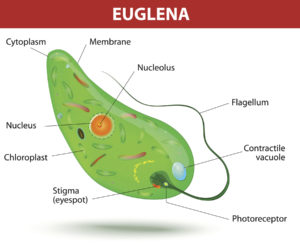 Figure 5. Anatomy of Euglena