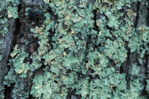 Figure 2. Lichen on the trunk of a tree