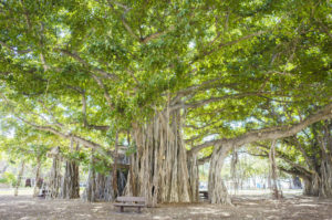 Figure 13. Banyan tree