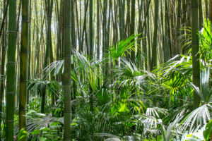 Figure 14. Bamboo forest