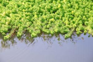 Figure 3. Hydrilla verticillata water weed