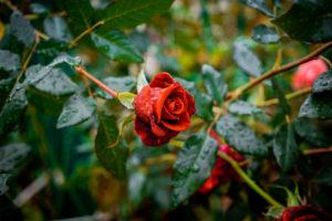 Figure 12. English rose garden