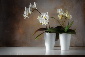 Figure 7. Potted white orchids (Phalaenopsis)