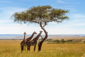 Figure 6. Acacia tree in the African savannah