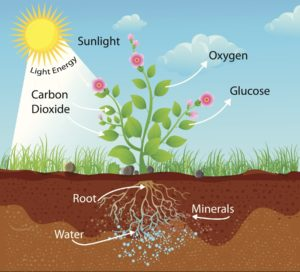 Figure 17. Role of sunlight, water, soil, and nutrients on life of a plant