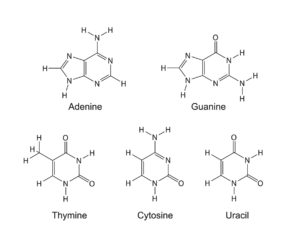 Figure 22. Purine and pyrimidine nitrogenous bases of RNA