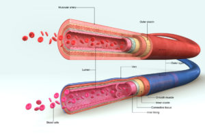 Figure 3. Anatomy of an artery and a vein