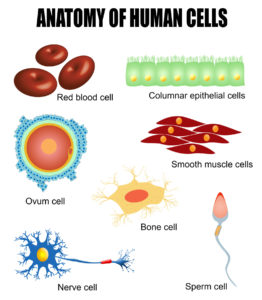 Figure 2. Anatomy of human cells