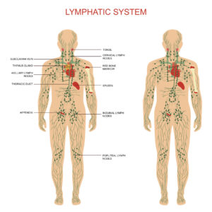 Figure 15. Human lymphatic system