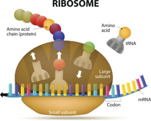 Figure 23. Ribosome during protein synthesis. The Interaction of a Ribosome with mRNA.