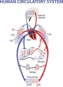 Figure 14. Human circulatory system