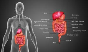 Figure 11. Human digestive system
