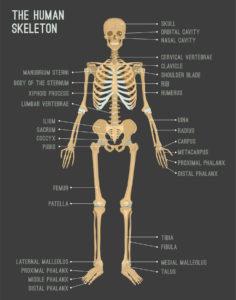 Figure 8. Human skeletal system