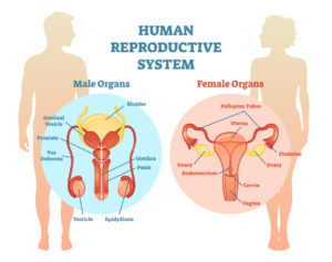 Figure 18. Human reproductive system