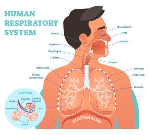 Figure 10. Human respiratory system