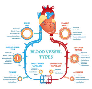 Figure 4. Blood vessel types anatomical diagram