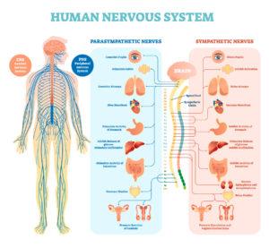 Figure 13. Human nervous system