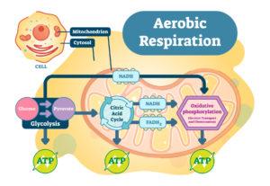 Figure 2. Aerobic Respiration