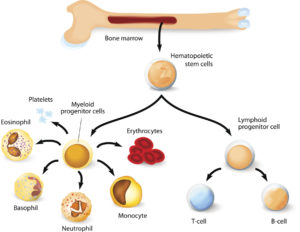 Figure 6. Blood cell formation from differentiation of hematopoietic stem cells in red bone marrow.