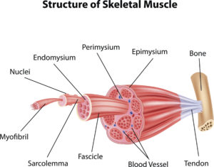Figure 90 A. Anatomy of skeletal muscle