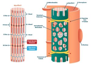 Figure 3. Detailed structure of muscle fiber