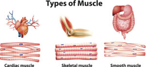 Figure 5. Types of muscle in human