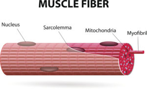 Figure 2. Structure of a muscle fiber