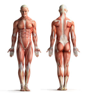 Figure 1. Human musculature (Anterior and posterior view)