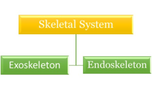 Figure 2. Classification of skeletal system