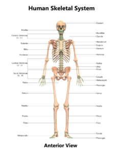 Figure 49(A). Human skeletal system anatomy (Anterior view)