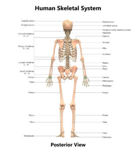 Figure 49(B). Human skeletal system anatomy (Posterior view)