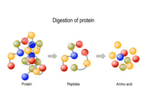 Figure 2. Digestion of Protein. Enzymes (proteases and peptidases) are digestion breaks the protein into smaller peptide chains and into single amino acids, which are absorbed into the blood