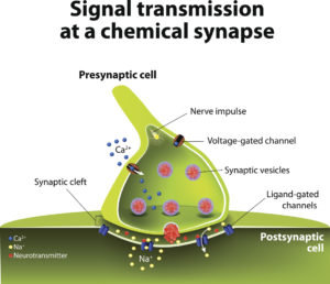 Figure 6. Signal transmission at a chemical synapse