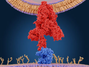 Figure 6. The spike protein (red) mediates the coronavirus entry into host cells. It binds to the angiotensin converting enzyme 2 (blue) through its S1 subunit and then fuses viral and host membranes through the S2 subunits. Source: PDB entry 6cs2