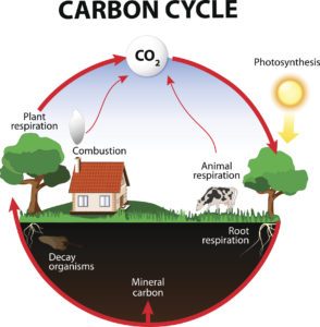 Figure 2. Carbon cycle. The carbon path from the atmosphere, into living organisms, then turning into dead organic matter, and back into the atmosphere